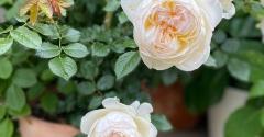 *アイアン扉のアーチに誘引したいバラ&可愛いボレロ