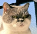 「何でも自白します」 眼光鋭い熟年刑事みたいな猫(画像あり)