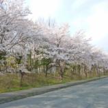 『桜満開です!』の画像