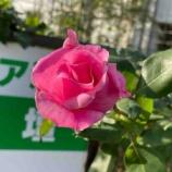 『【朝のご挨拶】人のために一生懸命に取り組む方を支援していくまち。寒い時期でもバラを咲かせ続ける戸田駅南側のBZ花壇で、お花の世話をされる方に嬉しい報告をいただきました。』の画像