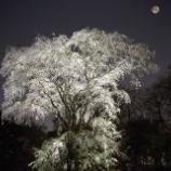 『夜桜と電照栽培』の画像