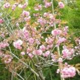 『八重桜満開!』の画像