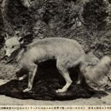 【興味深い話】し~ずん6:日本オオカミだったのに!の写真