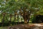 私市植物園。一本のおきなくすの木の存在感 ~交野さんぽ67~
