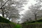 桜満開!星田妙見宮も免除川もすごいけど、『傍示川』もすごかった!