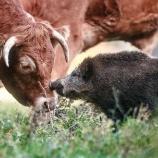 『牛の仲間になったイノシシ』の画像