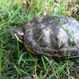 『亀の歩きは思っていたより速かった! 後谷公園の芝生近くで亀が休憩』の画像