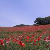 五月晴れの青空と赤い花々が包み込む丘 秩父高原牧場 ポピー畑