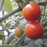 『ミニトマトが色づいてきました!』の画像
