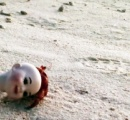 【進化する生態】貝がないので人形の頭を家にしたヤドカリの姿が大きな話題