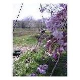『牛と桜』の画像