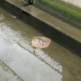 【画像】エイさん、川に出没するwwwwwwwww