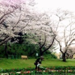 吉谷桂子のガーデニングブログ