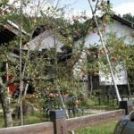 【羨ましい!】果物の木が自宅にある奴集まれ!