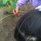 『初収穫』の画像
