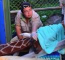動物園のキリン、移送前に不安で死ぬ