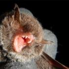 『クロホオヒゲコウモリの越冬』の画像