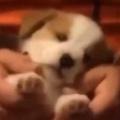 子イヌの前足を「マッサージ」してみた。優しくモミュモミュ♪ → 子犬はこうなっちゃう…