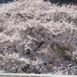 『わが家の桜10 13』の画像