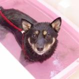 『換毛期にオススメなローズスパ!今日は柴犬ちゃんをご紹介します。』の画像