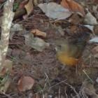 『アカハラ ~庭に来る野鳥~』の画像