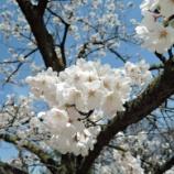 『夙川 [桜 開花状況]』の画像