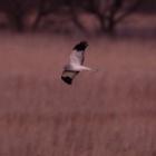 『日没後の鳥のトビモノ【追記】 2020/02/26』の画像