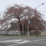 『わが家の桜10 5』の画像