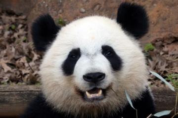 笹は食べ飽きた? パンダがヤギを襲って食べる 中国
