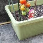 『2020  トマト 収穫・・?』の画像