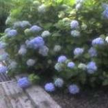 『紫陽花が見頃!』の画像