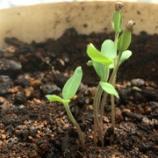 『トマトを切ったら根が出てる種を発見!土に埋めたら発芽した!』の画像