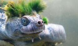 「生殖器で呼吸」のカクレガメ、絶滅危惧リスト入り ロンドン動物学会