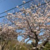 桜は来年も必ず帰ってきます