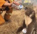 森林火災で救助されたコアラ、ペットボトルの水を飲んで「溺死」…獣医が注意呼びかける