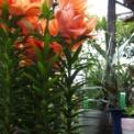 母の日に贈った花がやっと咲いた