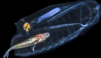 フロリダの深海で 透明なボディで魚を捕食する謎の生物が撮影される 綺麗すぎワロタ・・・