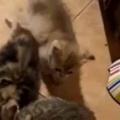 小さな子ネコはなかなか入れない。母猫に群がってちゅうちゅう♪ → 子猫たちの授乳タイムはこんな感じ…