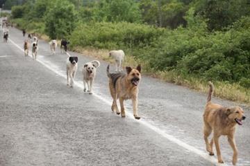 日本犬の再野生化は可能? なかなか野生化しない!?野犬との違い