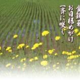 『金鶏菊』の画像