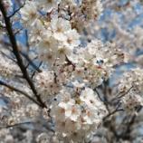 『桜の写真が綺麗です』の画像
