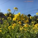 いつかの菜の花