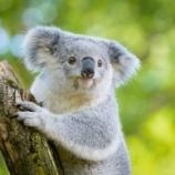 『【トラウマになりそう】コアラの鳴き声がキモすぎて草』の画像