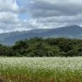 新発田にも『そば畑』が!本間新田にある『そば畑』に『そば』の花見に行ってみた。※9月13日撮影。