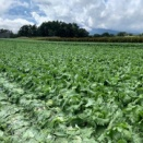 夏の高原野菜の様子2020.09.15(すっかり秋ですね)
