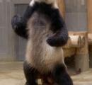 【画像】上野動物園にカンフーパンダがいると世界で話題に