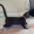 子猫がベッドの上にいた。その横に飼い主が飛び込んで、ボフン! → 思わず子猫もこうなちゃう…
