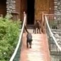イヌが怖がって「つり橋」を渡れない。ほら、歩いても大丈夫だよ♪ → 仲間の犬が教えるんです…