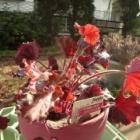 『素焼き鉢をピンクに塗ってヒューケラを飾りました。』の画像