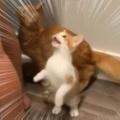 子ネコと猫のゴハンを用意する。早くちょうだ~い! → 待ちきれない2匹はこうなっちゃう…